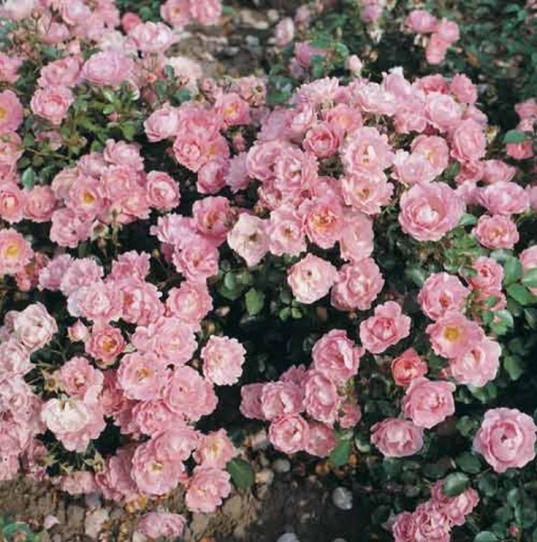 Bodendeckende Rose 'Sommerwind' ® ADR-Rose-1