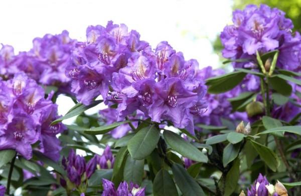 Rhododendron-Hybride 'Lee's Dark Purple'-1