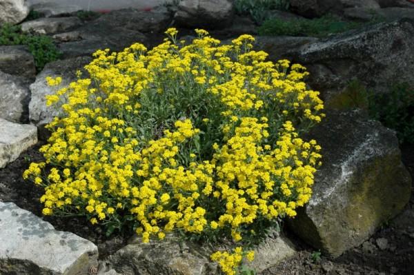 Garten-Steinkresse-1