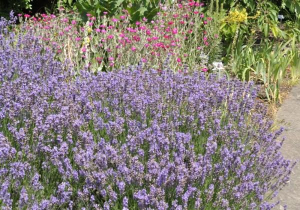 Zwergiger Garten-Lavendel-1
