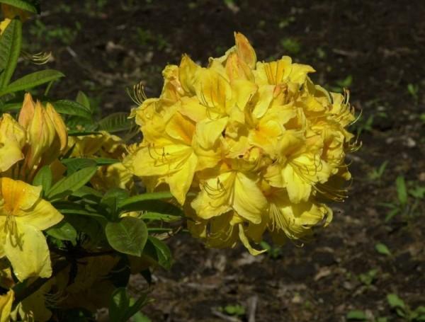 Sommergrüne Azalee 'Golden Sunset'-1