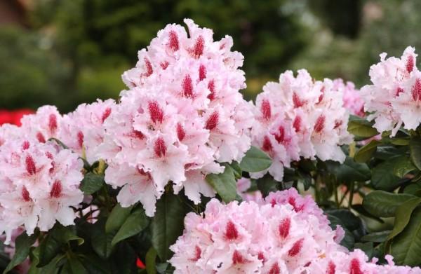 Rhododendron-Hybride 'Progres'-1