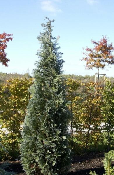 Gartenzypresse 'Van Pelts Blue'-1