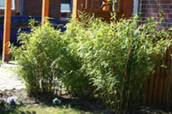 Gartenbambus 'Jumbo'-1
