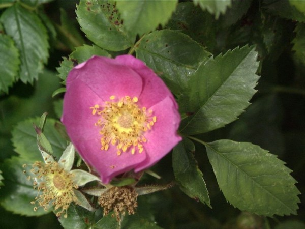 Virginische Rose-1