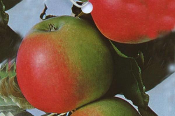 Apfel 'Jonagold' mittel-1