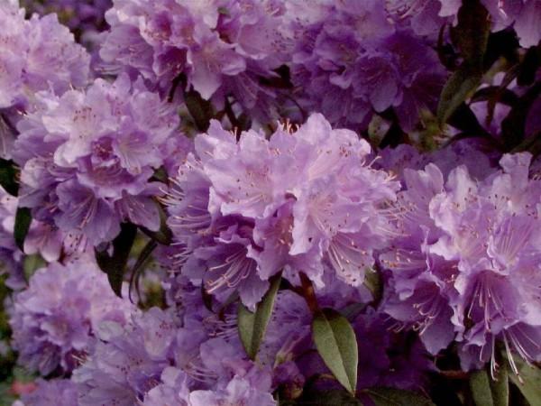 Kleinblättr.Rhododendron 'Blue Tit Magor'-1