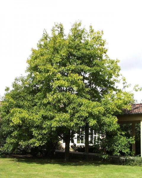 Amerikanischer Roteiche Baum / Hausbaum-1