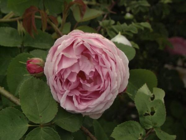 Englische Strauchrose 'Constance Spry'-1