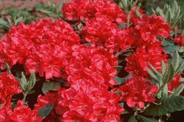 Zwergrhododendron 'Scarlet Wonder'-1