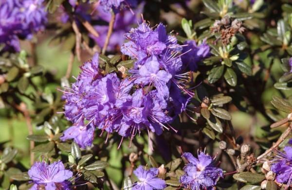 Kleinblättr.Rhododendron 'Azurika'-1