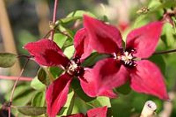 Texas-Waldrebe 'Gravetye Beauty'-1