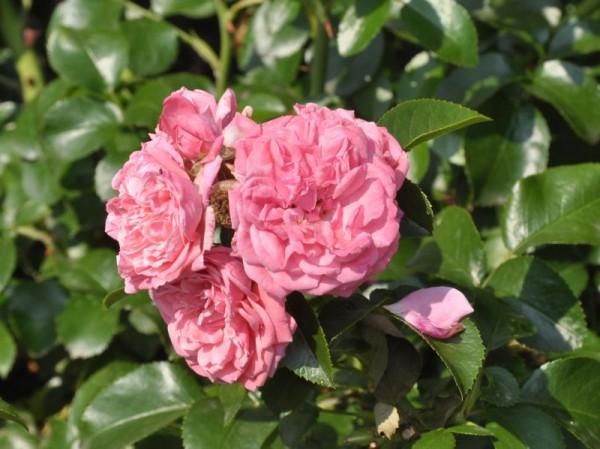Beetrose 'Alea' ® ADR-Rose-1