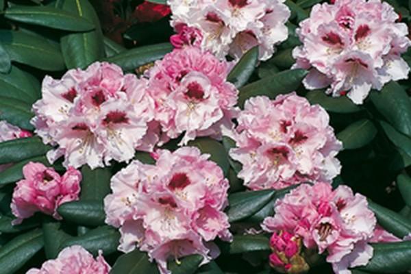 Yaku-Rhododendron 'Annika'-1