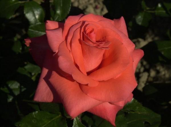 Edelrose 'Ave Maria' ®-1