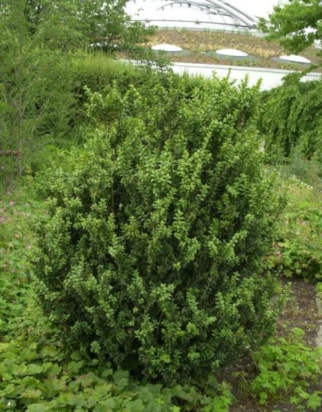 Buchsbaum 'Handsworthiensis'-1