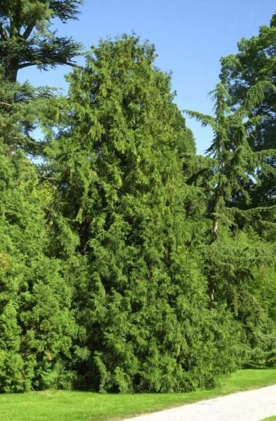 Hiba-Lebensbaum-1