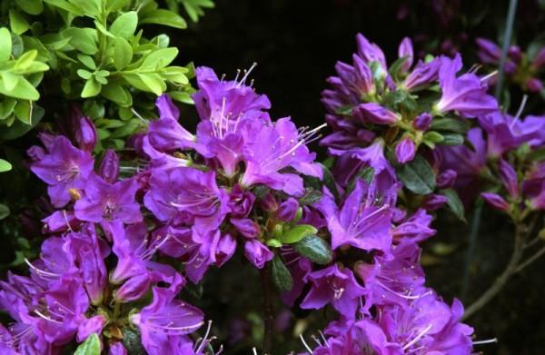 Japanische Azalee 'Purpurtraum'-1