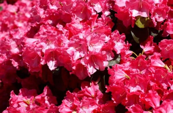 Williams.-Rhododendron 'Gartendir.Glocker'-1