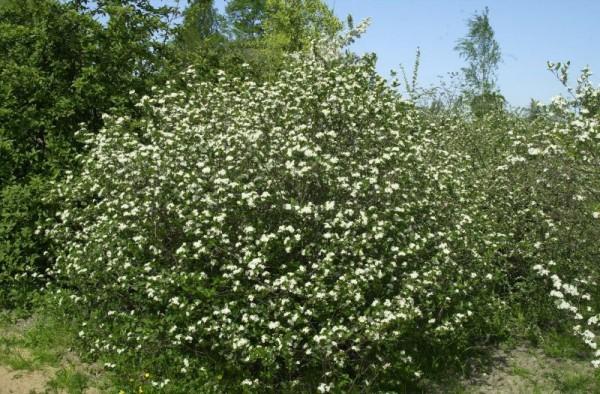 Apfelbeere prunifolia-1