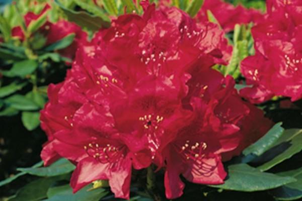 Rhododendron-Hybride 'Hachmanns Feuerschein' ®-1