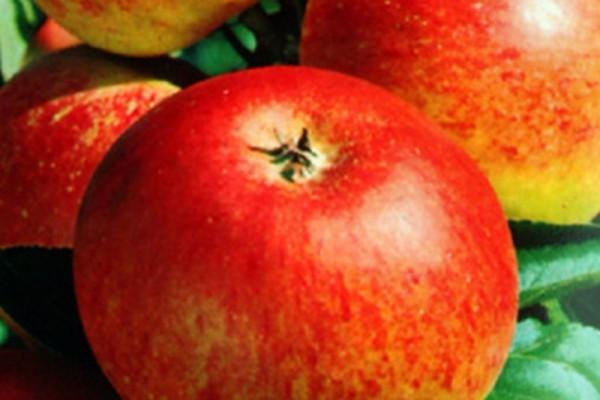 Apfel 'Goldparmäne' mittel-1