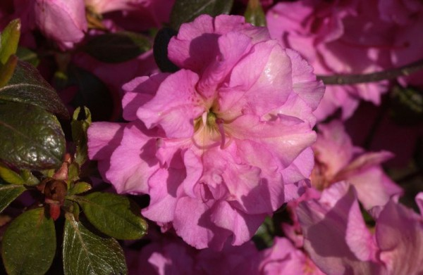 Japanische Azalee 'Petticoat' ®-1
