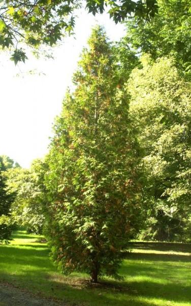 Thuja 'Sunkist' / Lebensbaum 'Sunkist'-1
