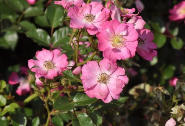 Zwergrose 'Lupo' ® ADR-Rose-1