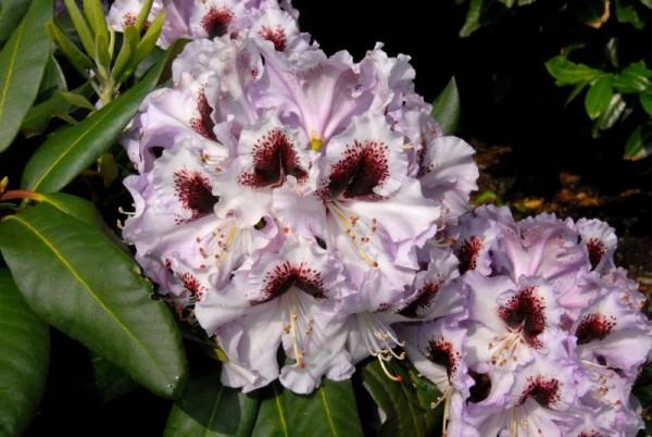 Rhododendron-Hybride 'Pinguin'-1