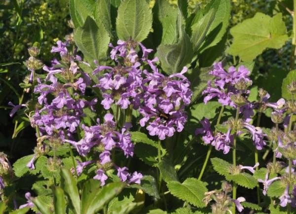 Großblütiger Garten-Ziest-1