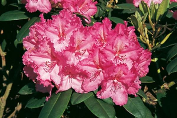 Rhododendron-Hybride 'Haithabu' ®-1