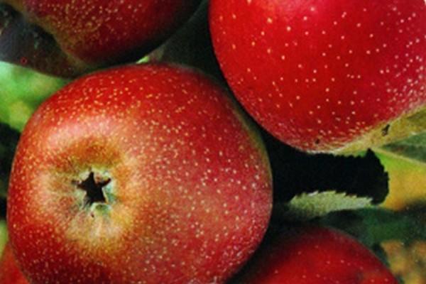 Apfel 'Roter Boskoop' spät-1