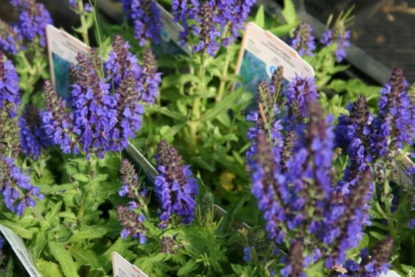 Garten-Blüten-Salbei-1