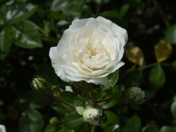 Bodendeckende Rose 'Sea Foam'-1
