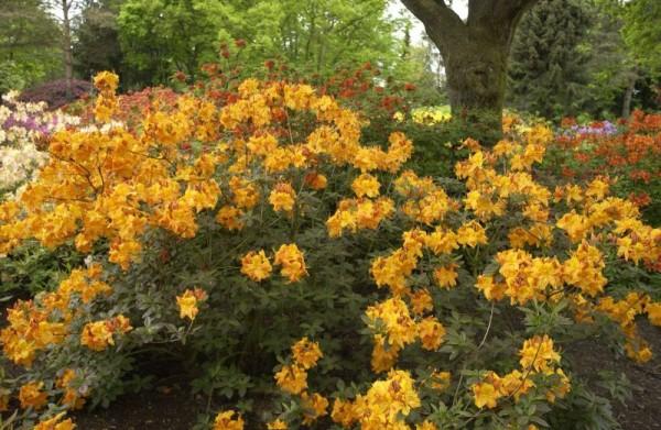 Sommergrüne Azalee 'Klondyke'-1