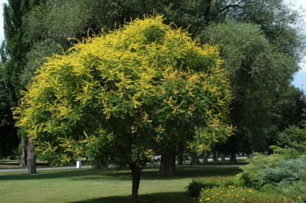 Blasenbaum-1