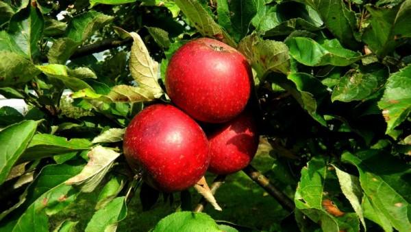 Apfel 'Rote Sternrenette' mittel-1