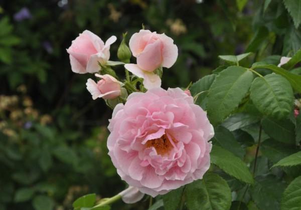Kletterrose 'Kir Royal' ® ADR-Rose-1