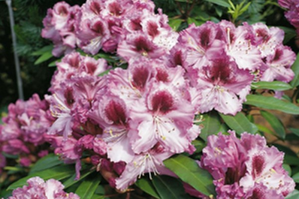Rhododendron-Hybride 'Pfauenauge' ®-1