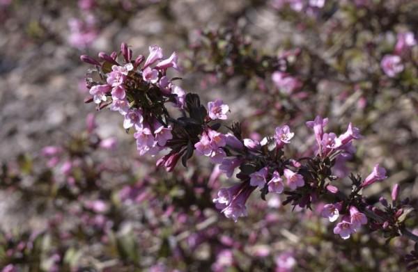 Weigelie 'Purpurea'-1