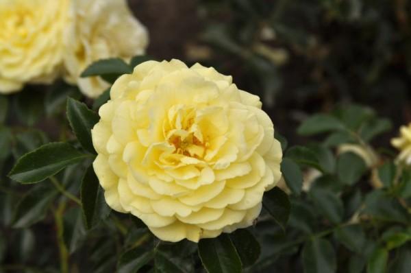 Beetrose 'Solero' ® ADR-Rose-1