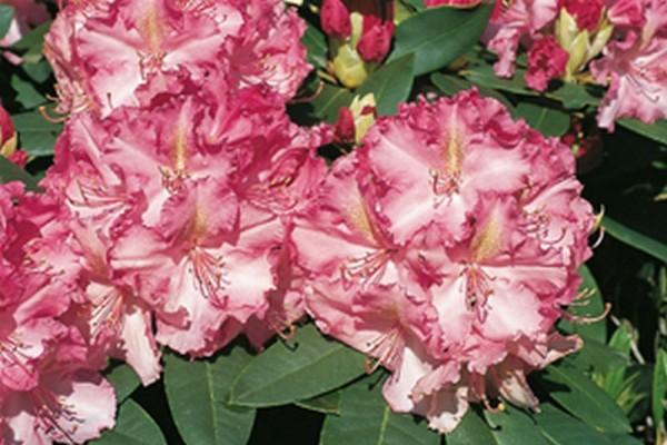 Rhododendron-Hybride 'Anastasia' ®-1