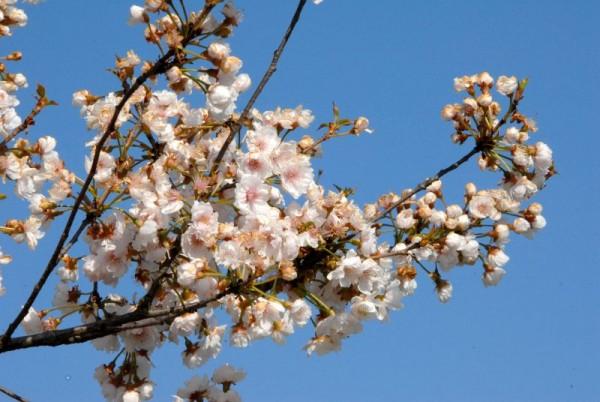Gefüllte Frühlingskirsche-1