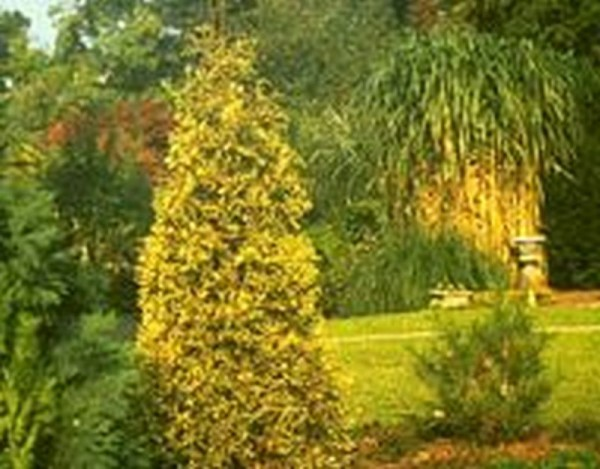 Thuja Plicata 'Aurescens' / Goldspitzen-Lebensbaum-1