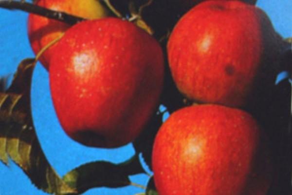 Apfel 'Pinova' -S- mittel-1