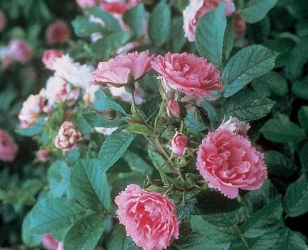 Strauchrose 'Pink Grootendorst'-1