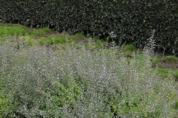 Kleinblütige Garten-Bergminze-1