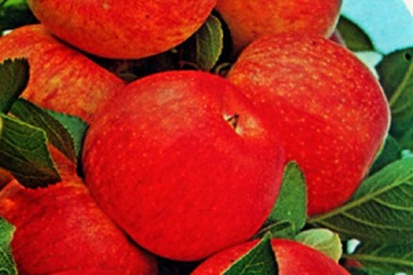 Apfel 'Goldrenette von Blenheim' mittel-1