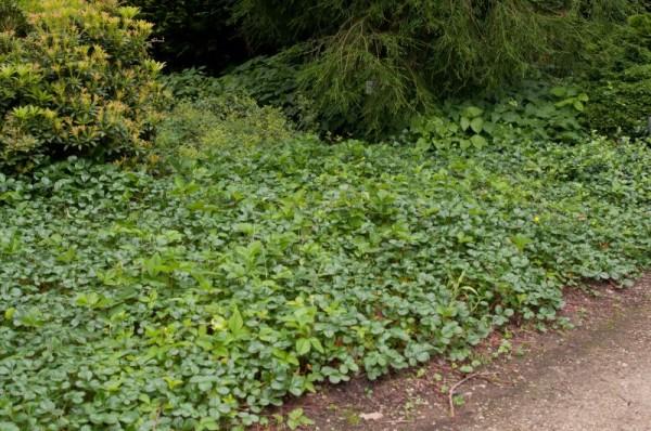 Garten-Zier-Erdbeere-1